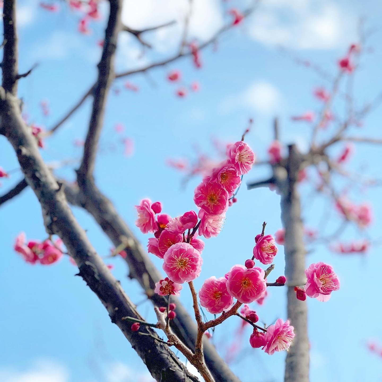 空の「アオ」がとっても濃ゆい。ピンク色のお花が咲いています。小春日和な2月の空。